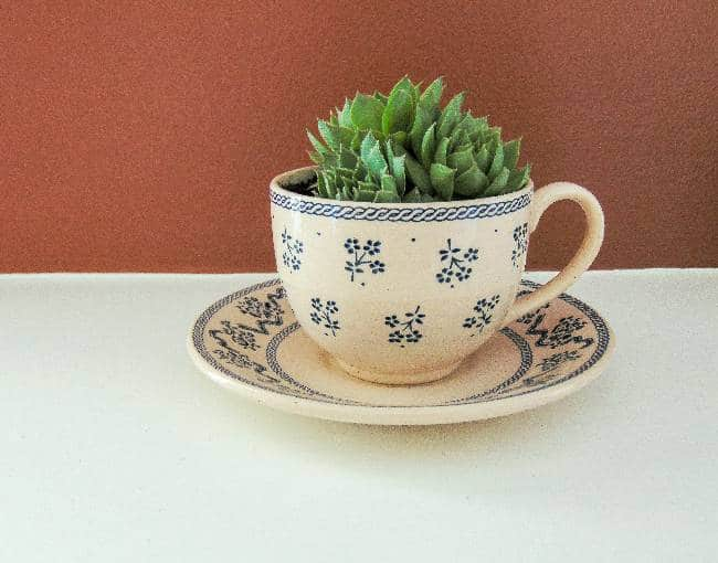 Hens and Chicks Succulent Plant in Teacup Set